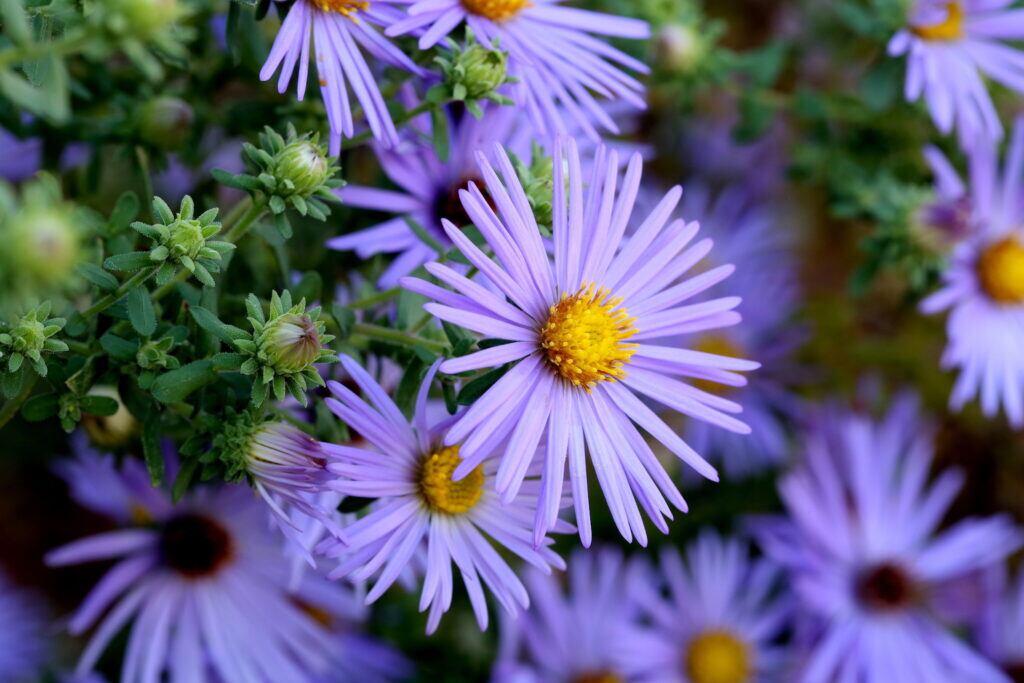 Aster ist die Blume des Septembers