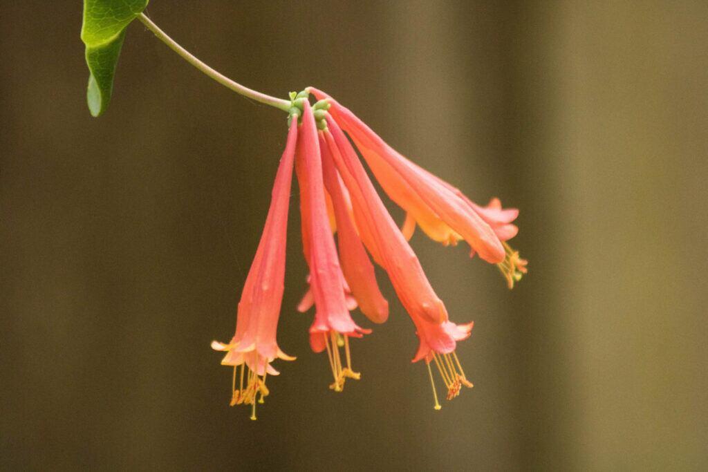 Geißblatt – die Geburtsblume des Monats Juni