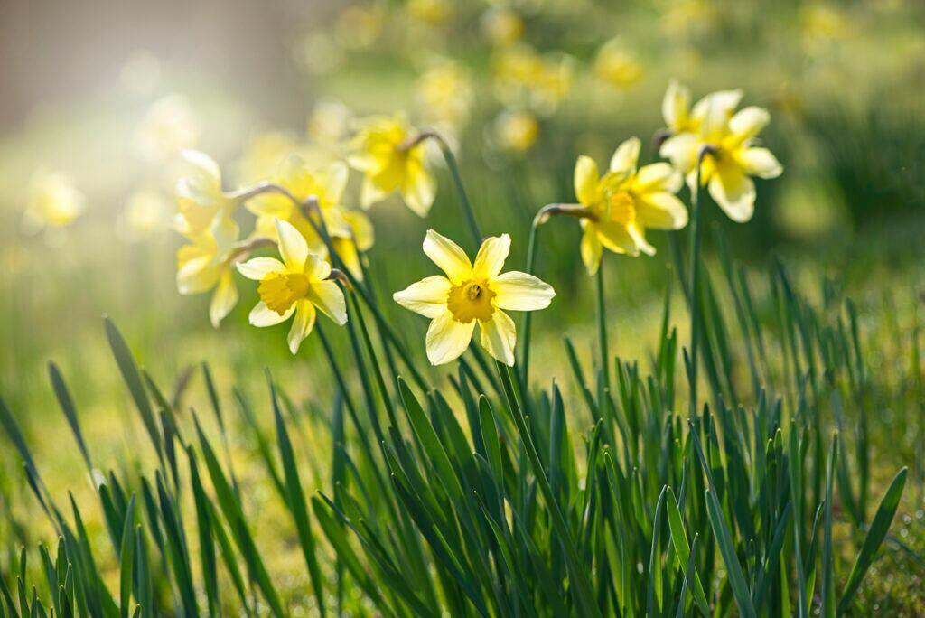 Narzisse – die Geburtsblume des Monats März