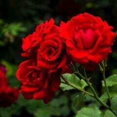 Was bringt es, wenn man Pflanzen wie rote Rosen mit Blut und Knochen düngt?