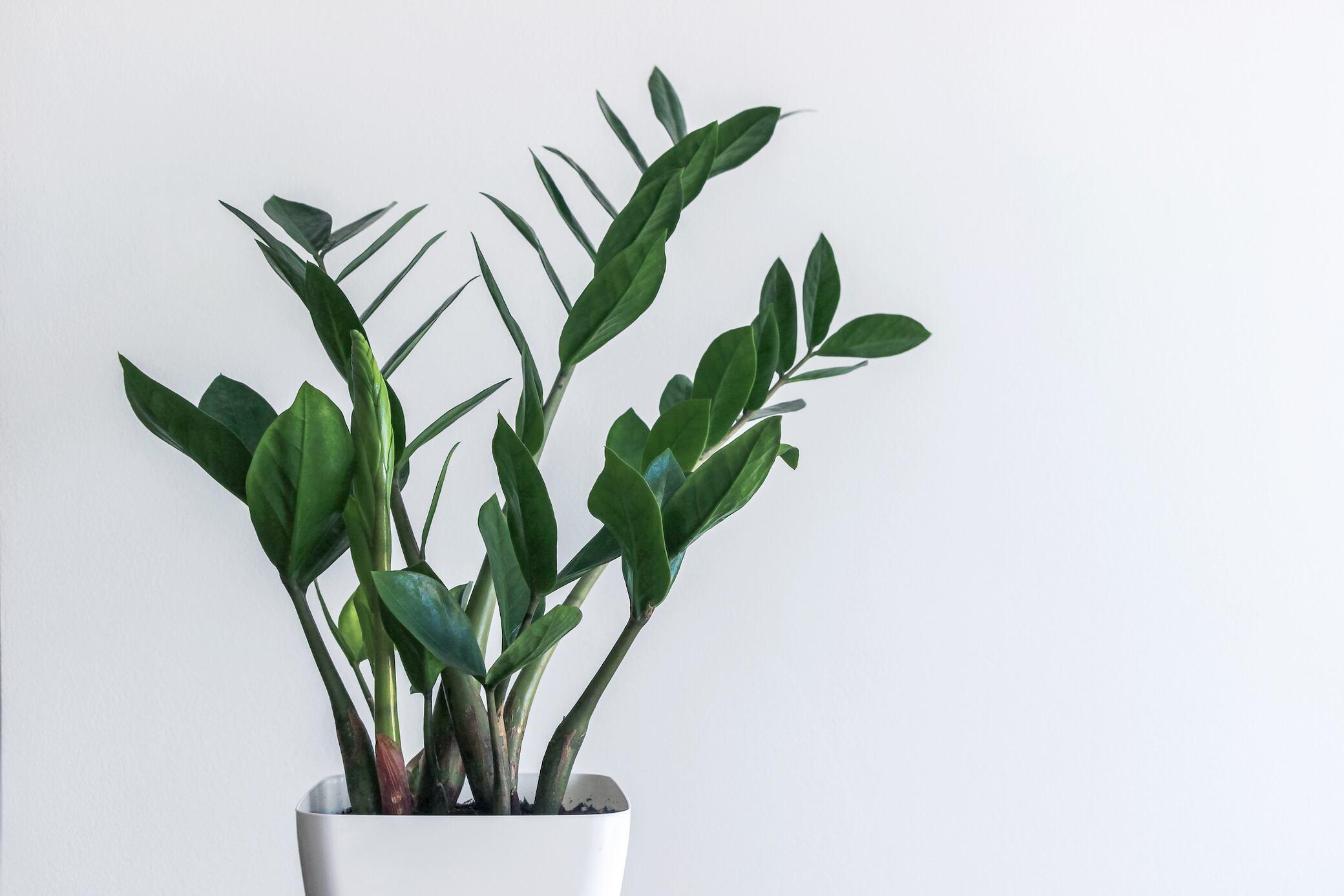 Diese Zimmerpflanze ist nicht kleinzukriegen – muss man sie überhaupt pflegen?