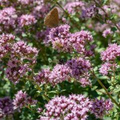 Oregano selber anbauen: Oregano mit rosa Blüten, Schmetterlingen und Bienen