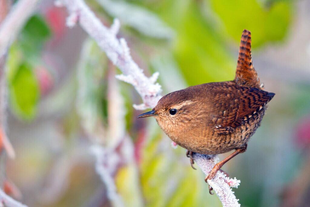Vogelfutter: Zaunkönig auf Baumast