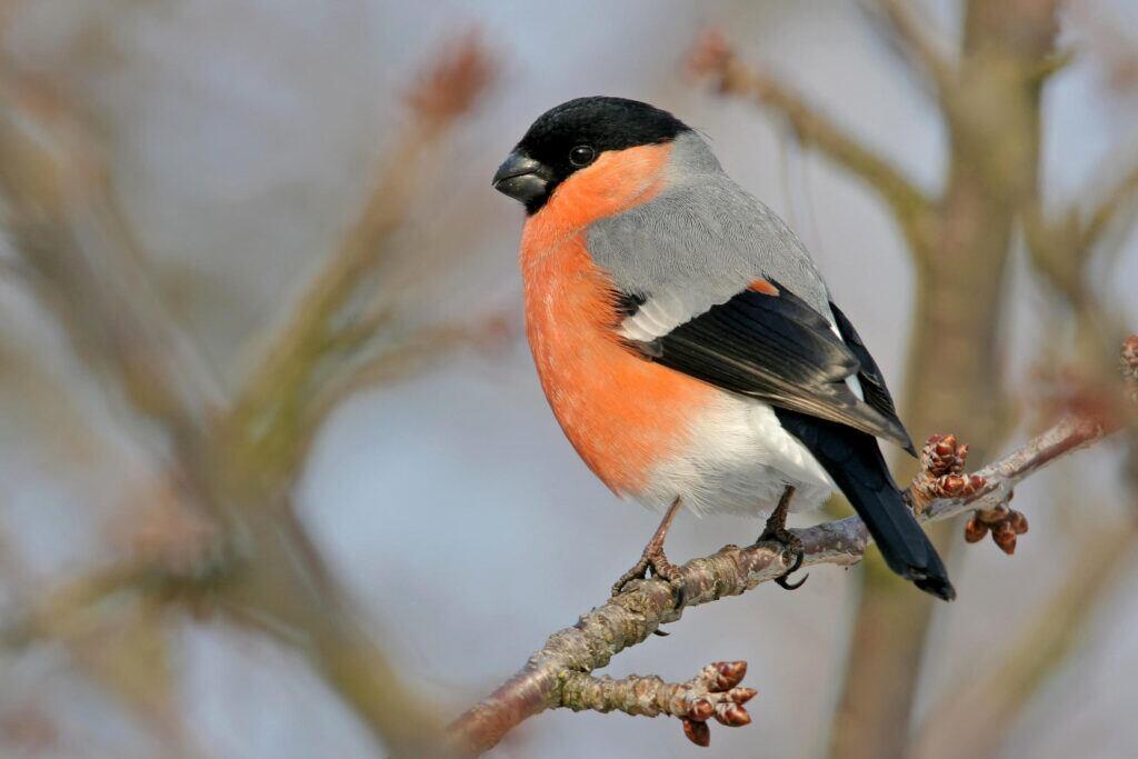 Gimpel-Männchen mit orange leuchtenden Federn
