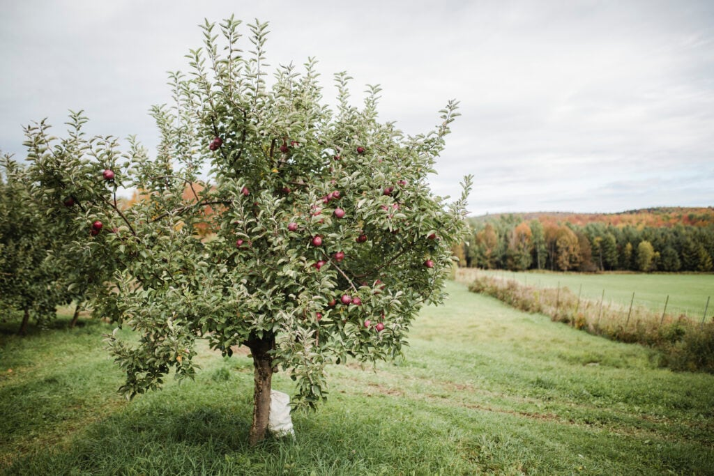 Menschen, die im Baumzeichen des Apfelbaums geboren sind, sind Menschen der Liebe