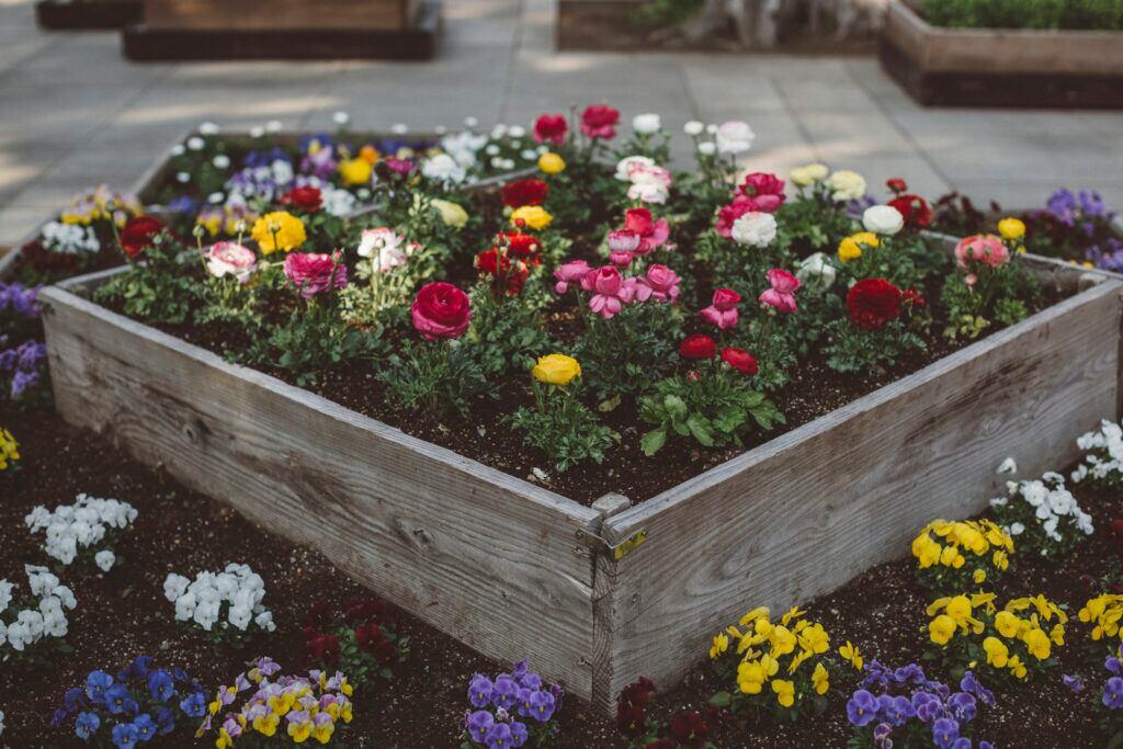 Mit Ranunkeln kann man den Balkon und Balkonkästen im Frühjahr bepflanzen
