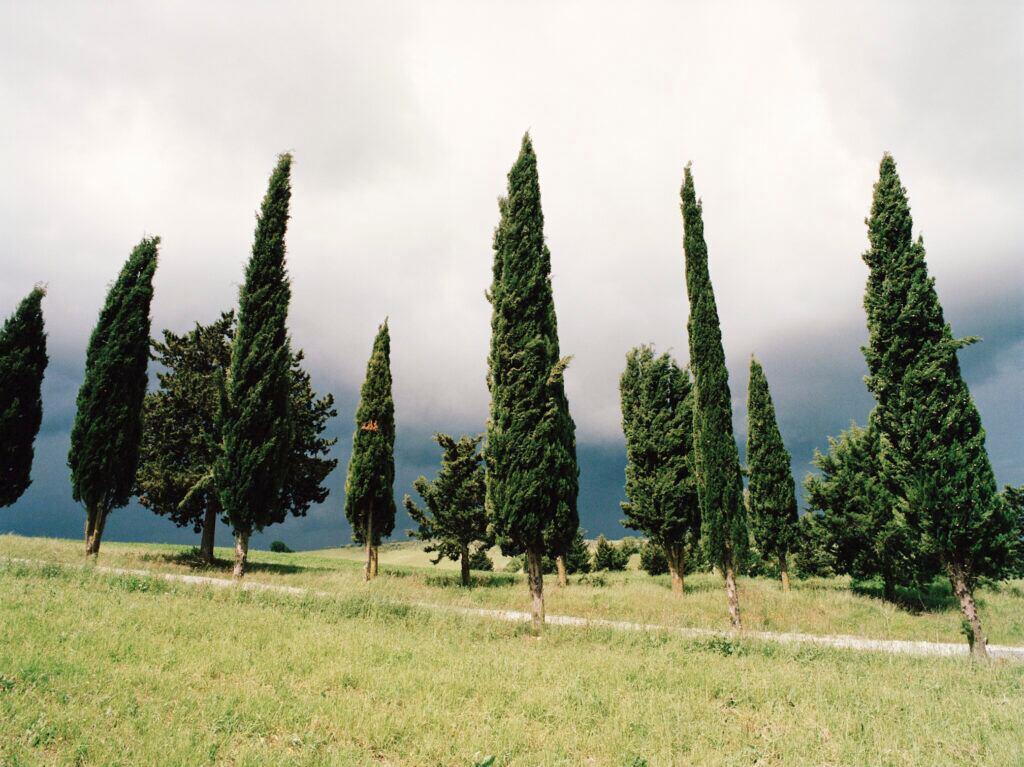 Die Zypresse ist der Lebensbaum für Januar und Februar