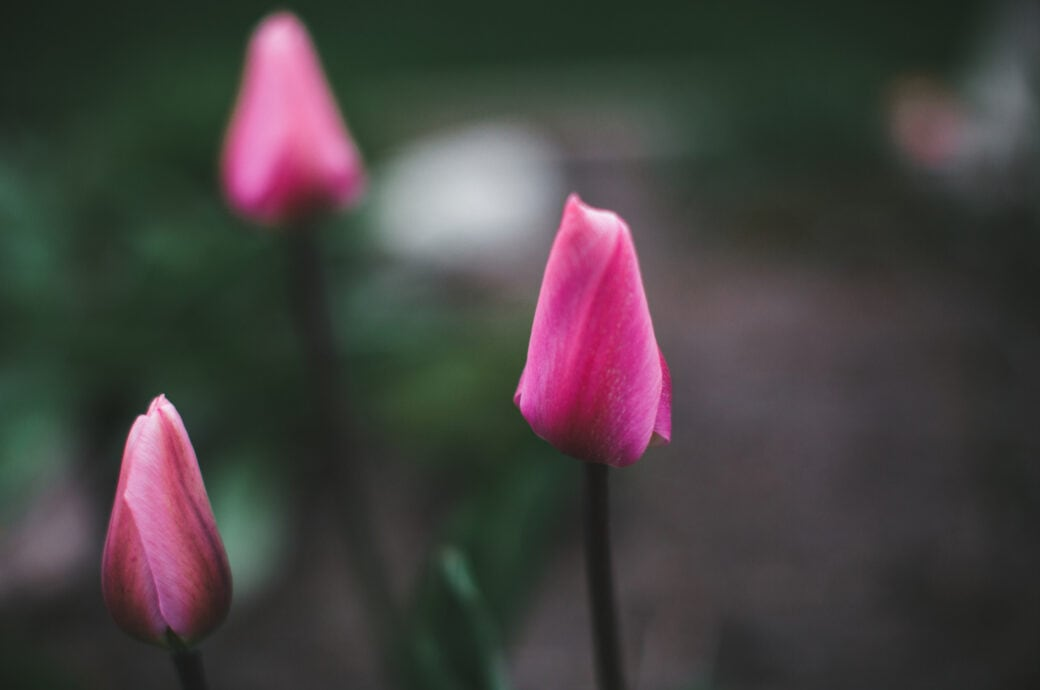 Zwiebelblumen düngen, damit sie richtig austreiben