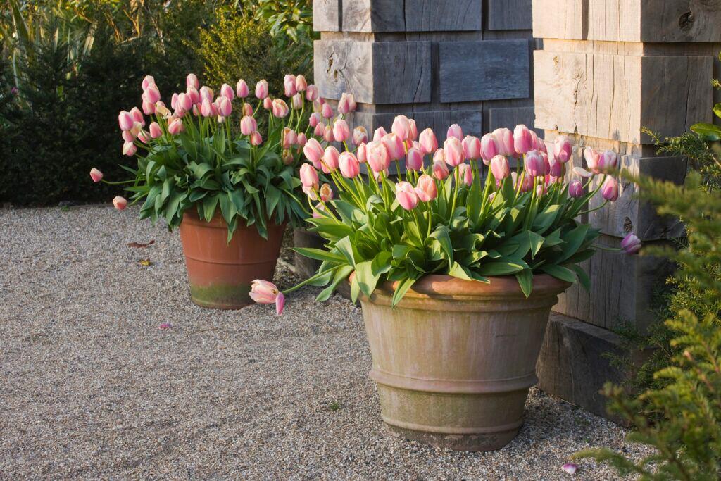 Tulpen eignen sich, um die Balkonkästen im Frührjahr wieder zu bepflanzen