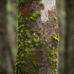 Besonders auf älteren Bäumen breitet sich irgendwann Moos aus. Sollte man es entfernen?