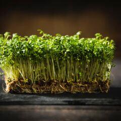 Selbst Kresse zu Hause ziehen: Was man tun muss, damit die Kresse richtig wächst
