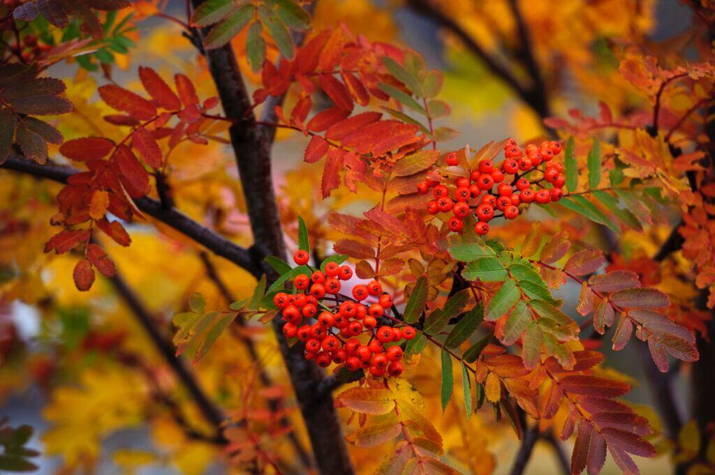 Die Eberesche ist der Lebensbaum für Lebensfreude