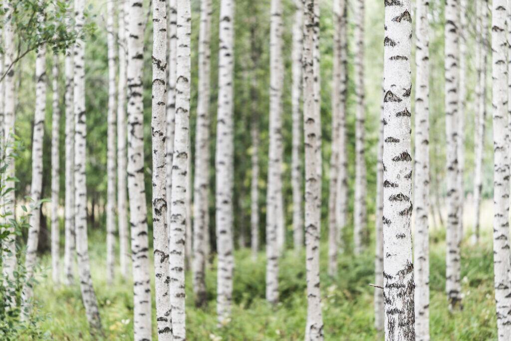 Die Birke bringt als Baumzeichen Licht und zarte Schönheit