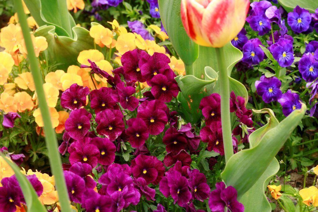 Hornveilchen blühen in einem Beet neben Tulpen