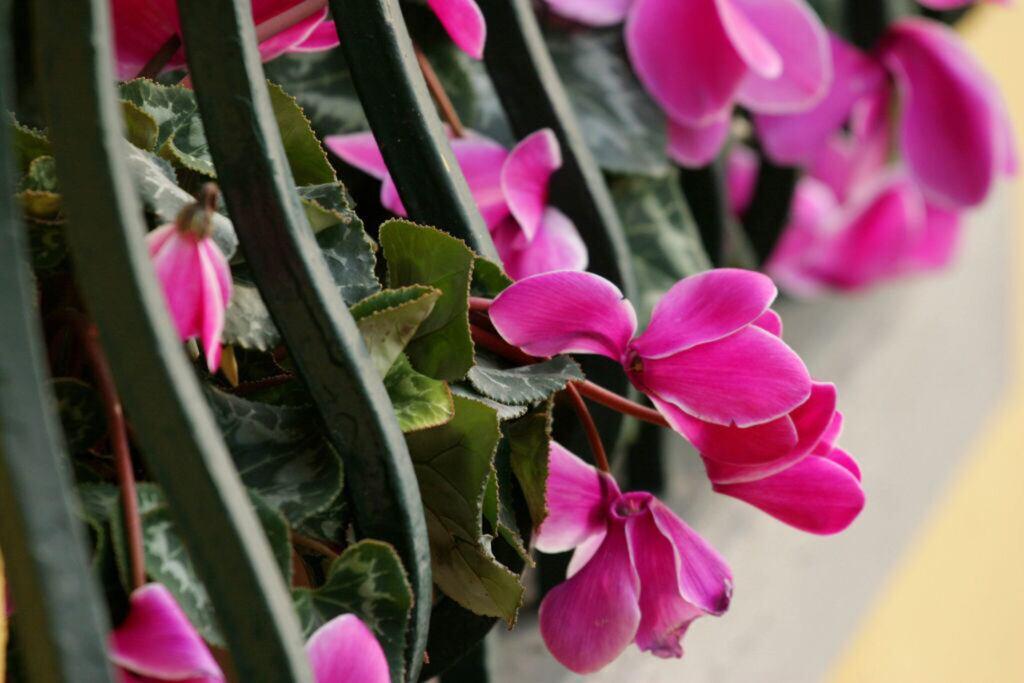 Alpenveilchen blühen im Frühling