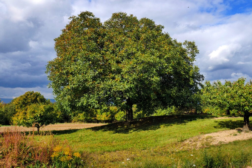 Als Nussbaum gilt beispielsweise der Walnussbaum