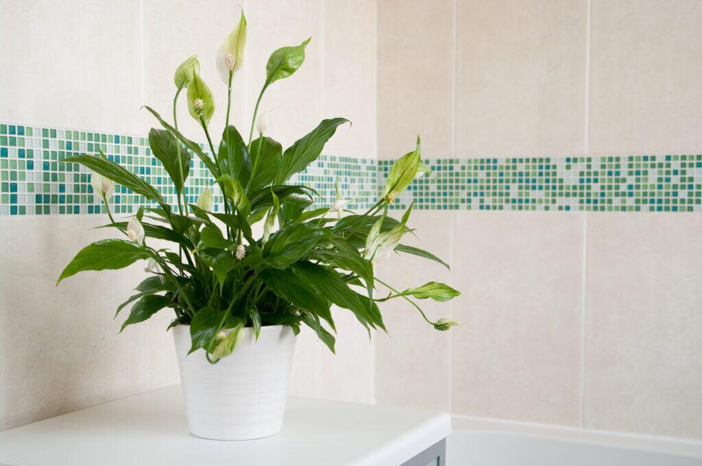 Das Einblatt fühlt sich im Badezimmer wohl