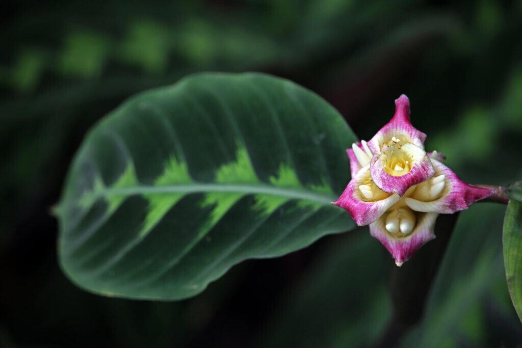 Manche Calathea-Sorten wie die Calathea warscewiczii tragen auch bunte Blüten