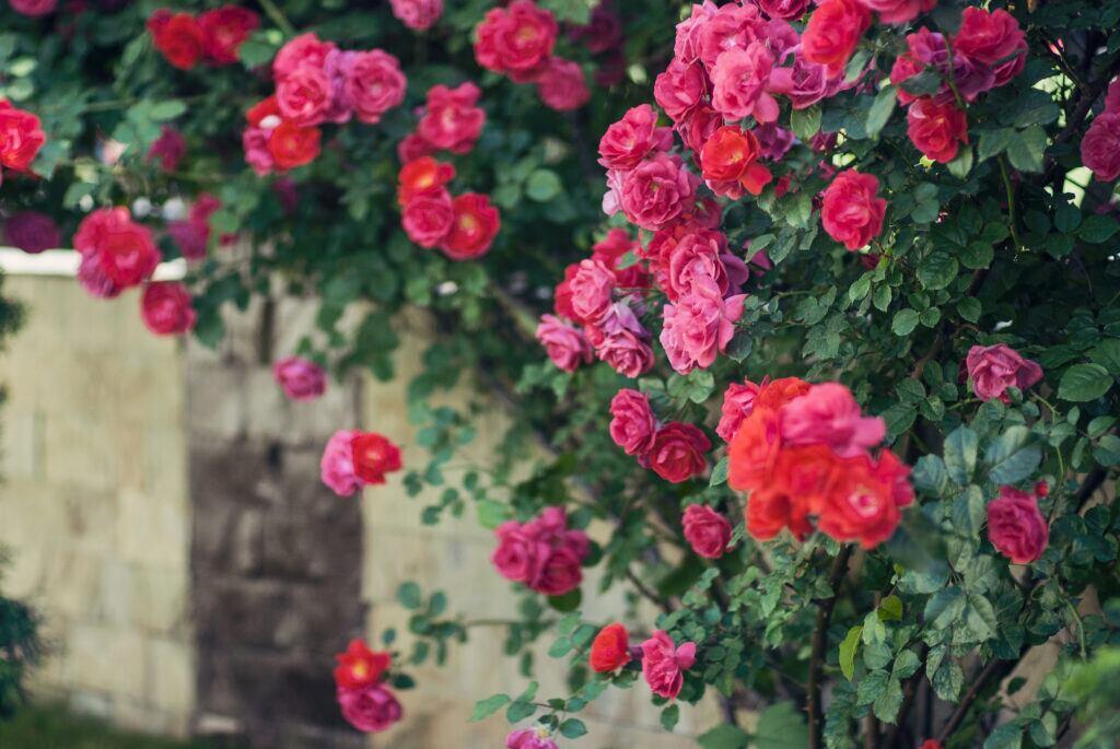 Kletterrosen sind klassische Sichtschutzpflanzen für den Garten