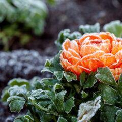 Der Spätfrost kann Blumen – wie hier dem Hahnenfuß – Schaden zufügen
