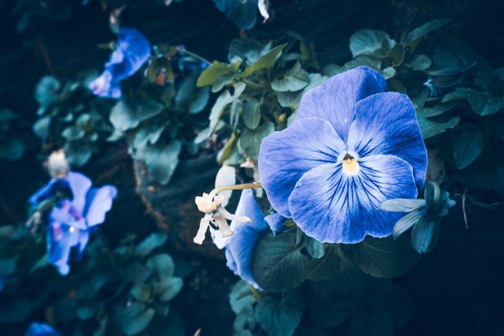 Die Prunkwinde hat leuchtende Blüten