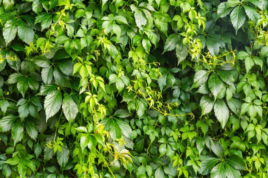 Kletterpflanzen für Sichtschutz im Garten