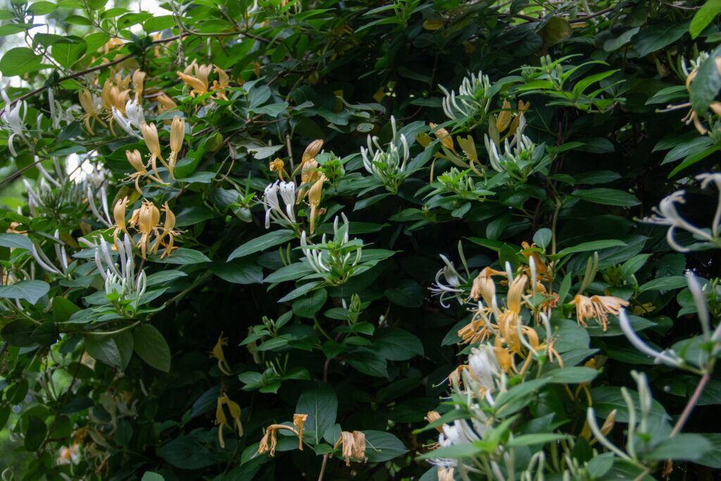 Das Geißblatt ist als Sichtschutzpflanze geeignet