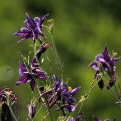 Die Akelei ist ein typischer Vagabund – sie verbreitet ihre Samen selbstständig und taucht schon mal an bisher nicht besiedelten Flecken im Garten auf