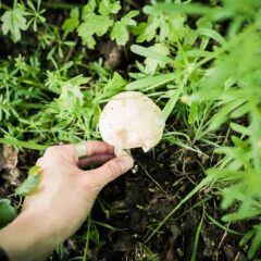 Speisepilze züchten: Gärtner beim Pflücken eines Pilzes