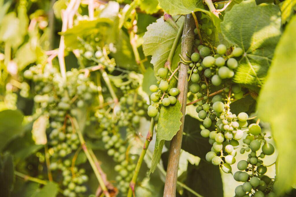 Wein im Garten kann auch als Sichtschutz dienen