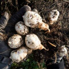 Tobinambur zählt zum mehrjährigen Gemüse