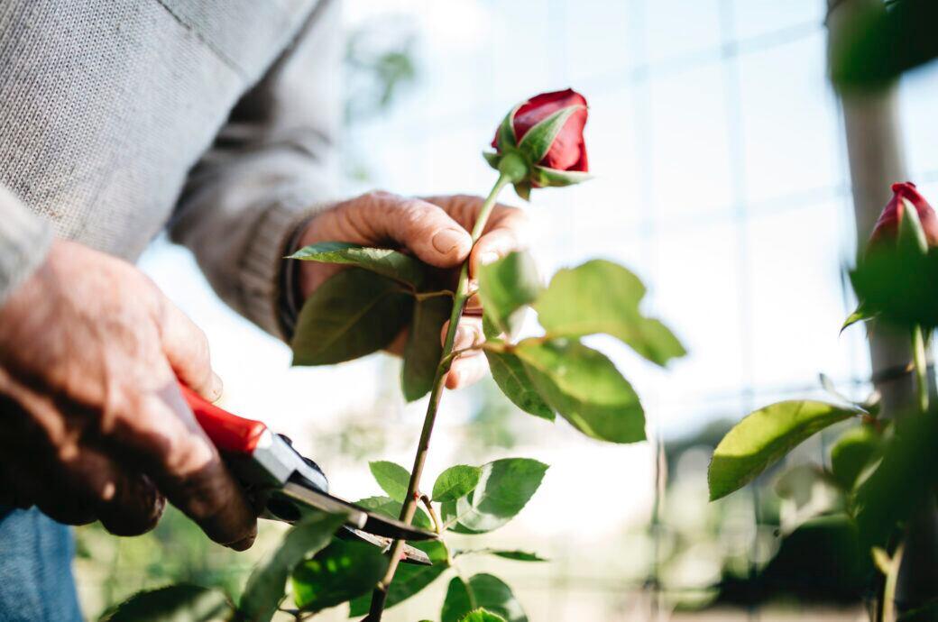 Rosen schneiden im Garten