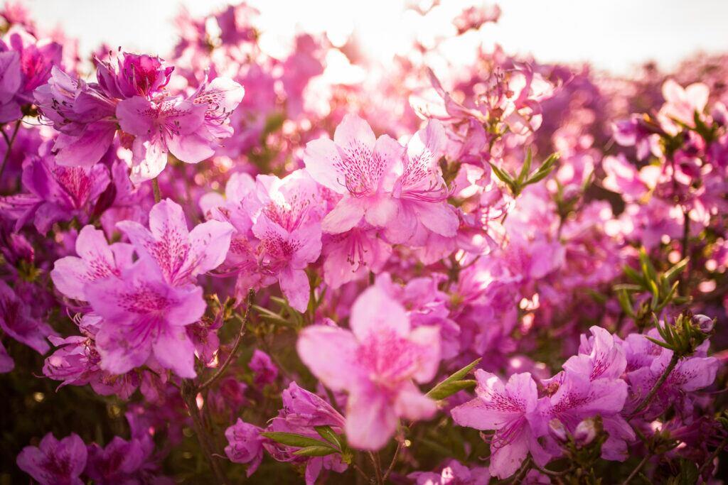 Eine Gartenarbeit im April: Rhododendron pflanzen