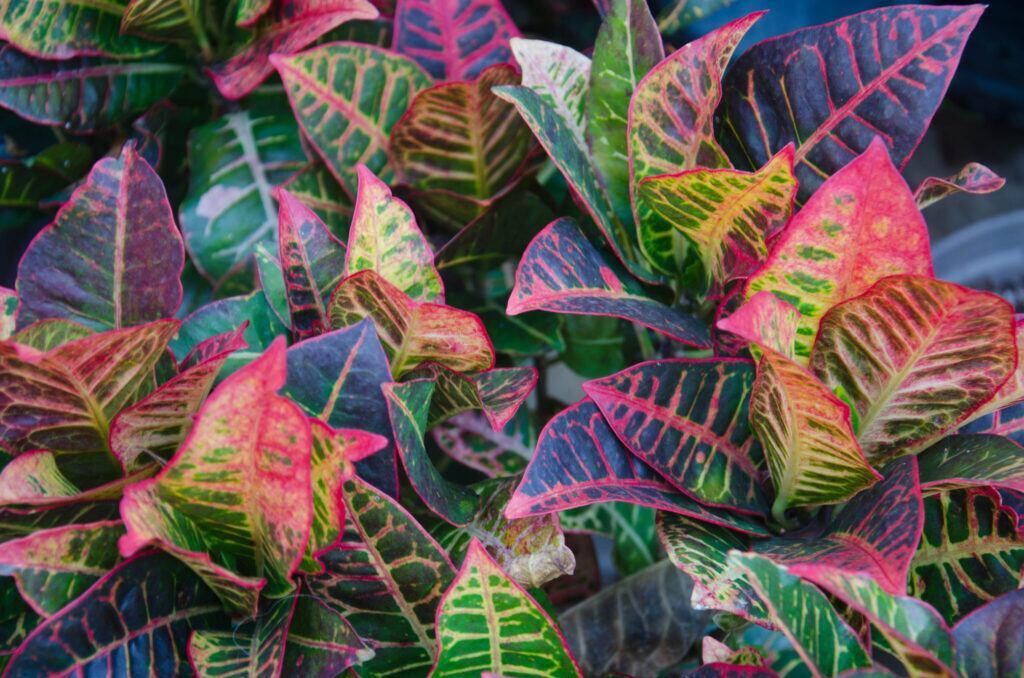 Es gibt auch Calatheas mit bunten Blättern