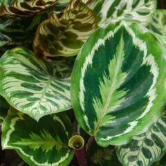 Die Blätter der Calathea bewegen sich