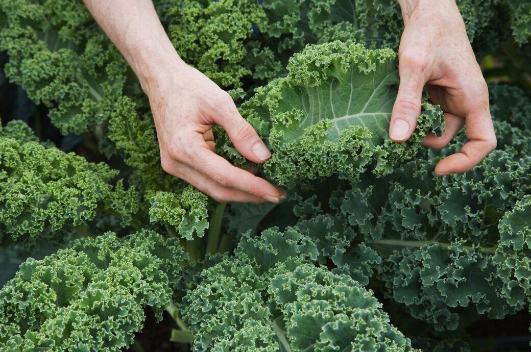 Grünkohl im Garten selbst anbauen – so geht's