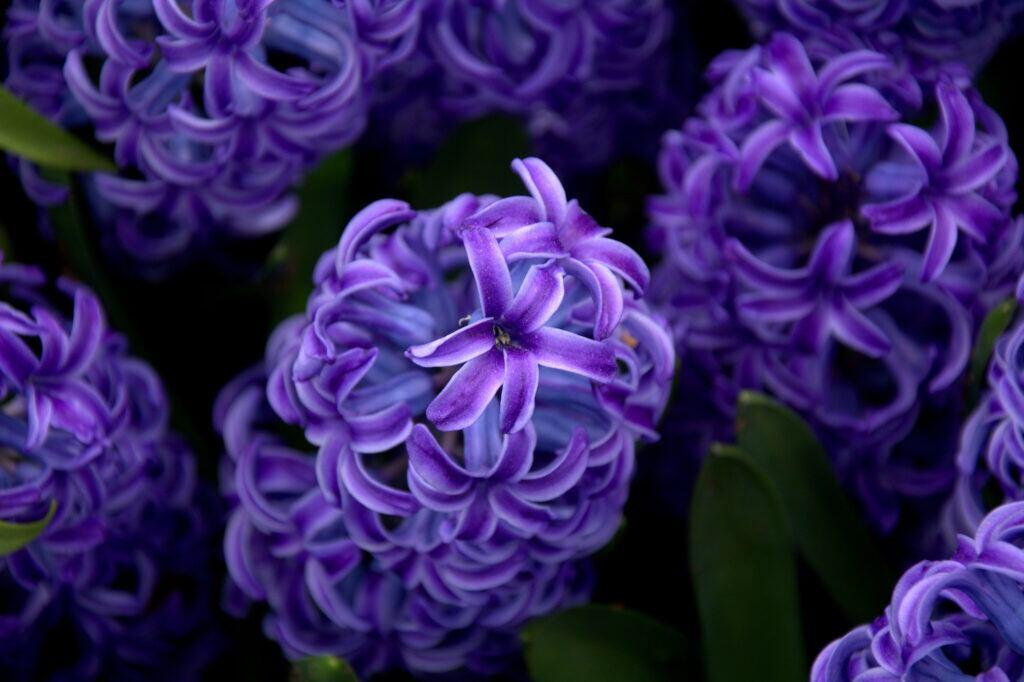 Hyazinthen blühen im April im Garten