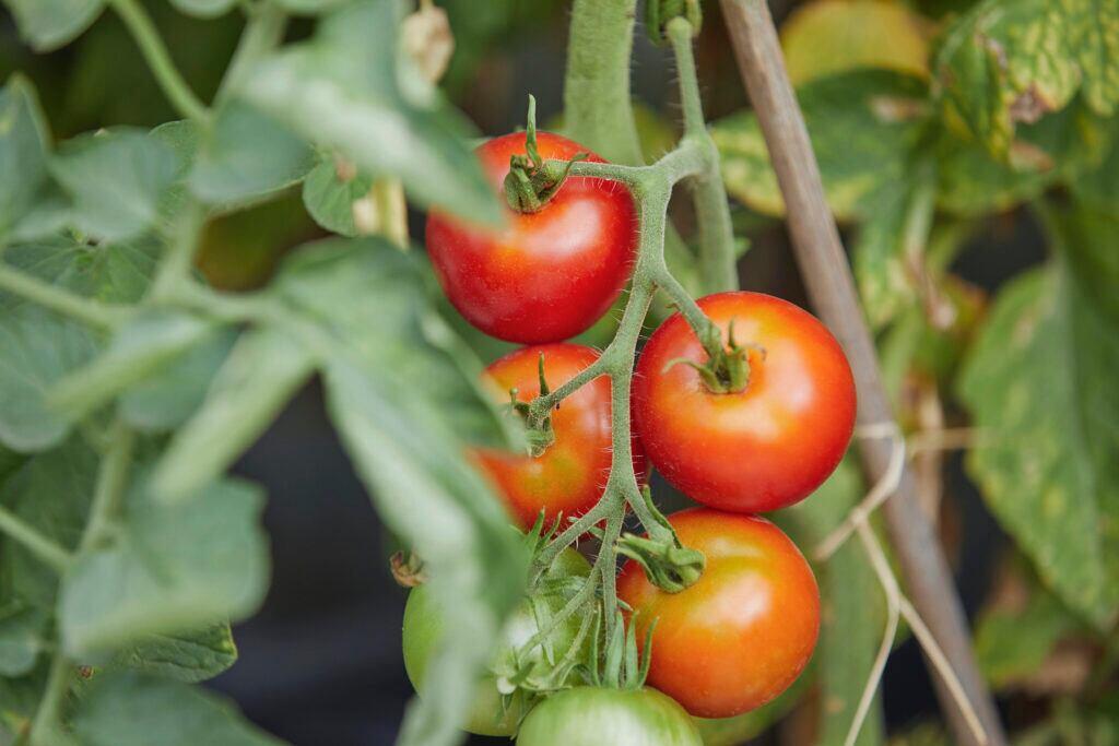 In Notsituationen ist es gut, wenn man Tomaten angebaut hat