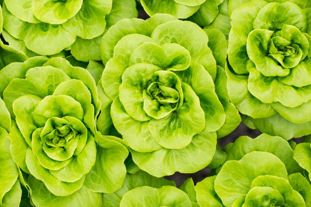 Wer eine Apocalypse überleben will, sollte unter anderem Salat anpflanzen