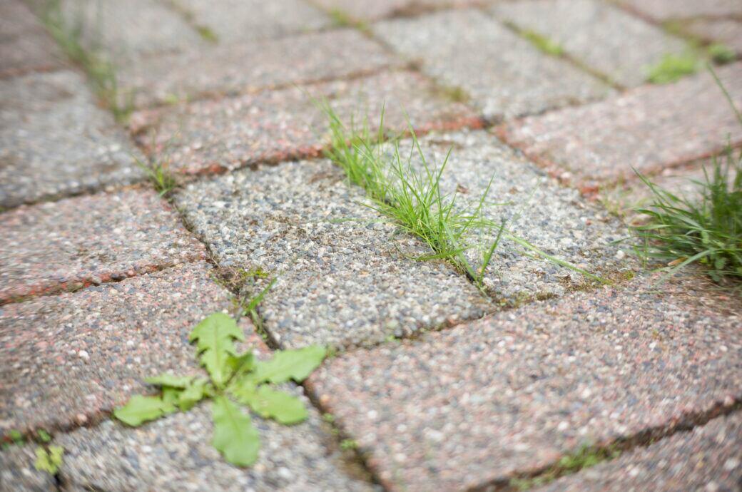 Gras und Löwenzahn wachsen zwischen den Pflastersteinen eines Weges