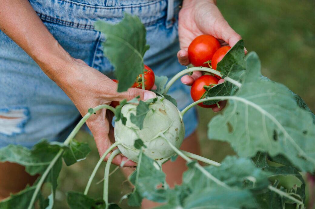 Wie man im Garten Kohlrabi pflanzen kann