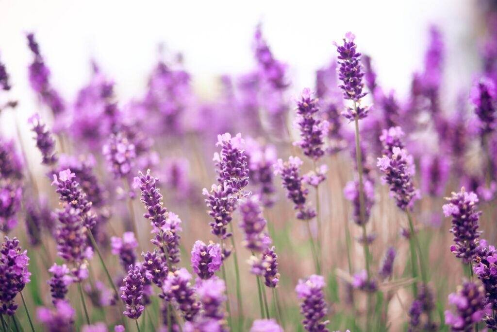 Lavendel eignet sich, um Urlaubsflair auf den Balkon zu holen