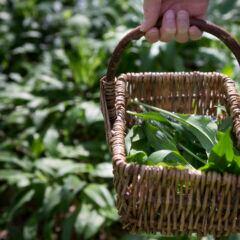 Wilder Bärlauch wächst im Wald, aber auch im eigenen Garten kann man die würzige Pflanze anbauen
