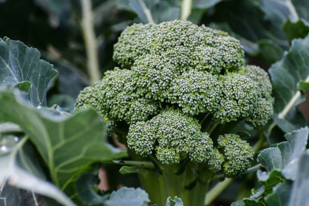 Wer sich selbst versorgen will, sollte Brokkoli anbauen