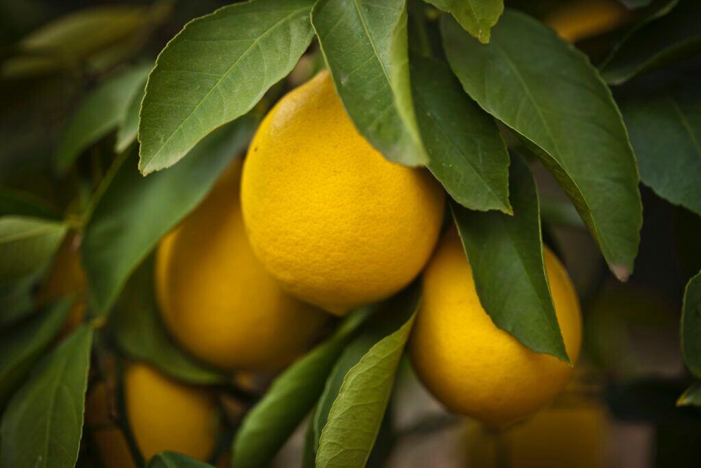 Ein eigener Zitronenbaum auf dem Balkon hat gleich mehrere Vorteile