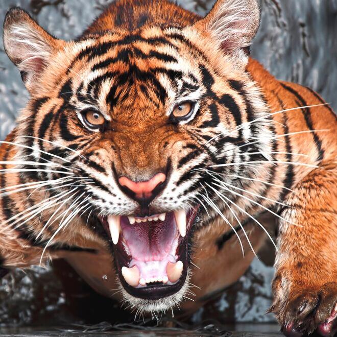 Ein brüllender Tiger