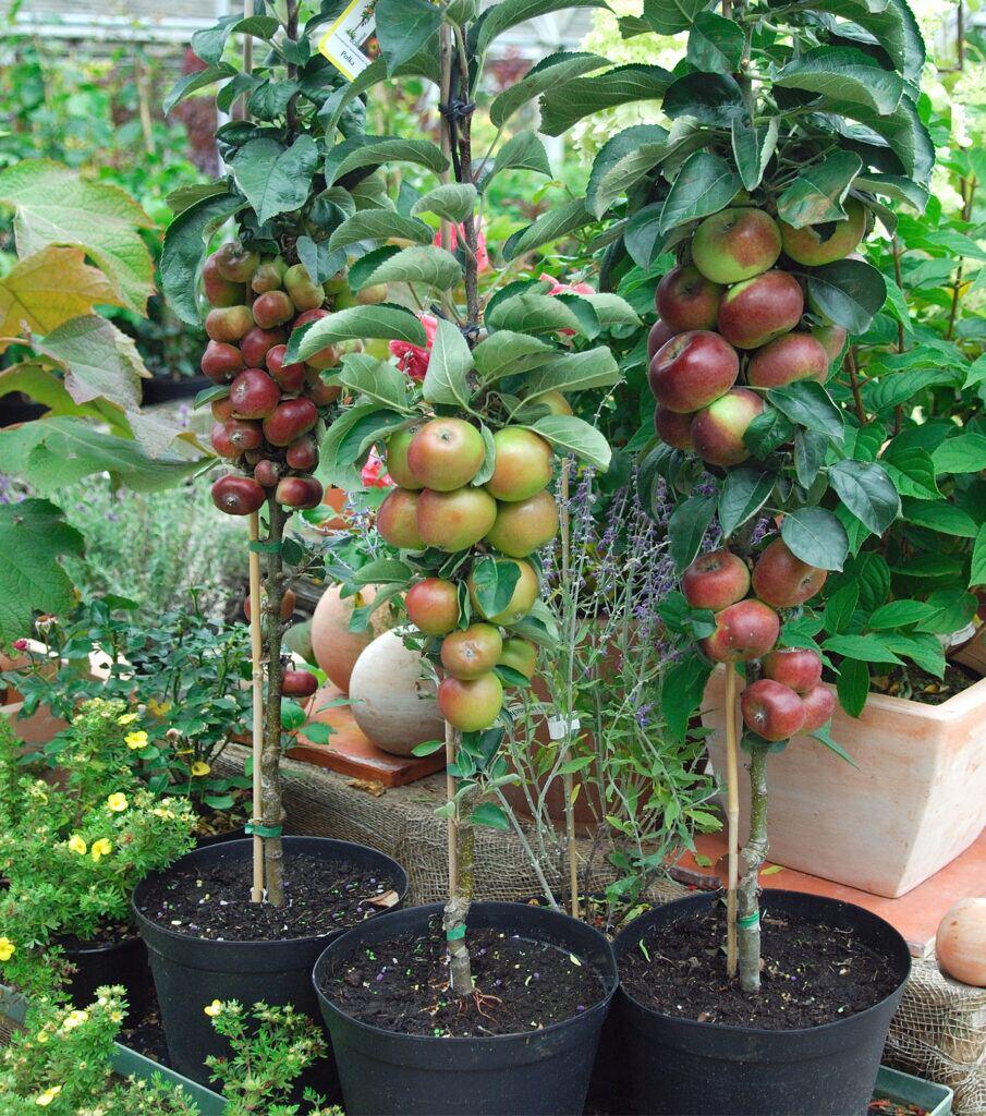 Äpfel eignen sich besonders als Säulenobst