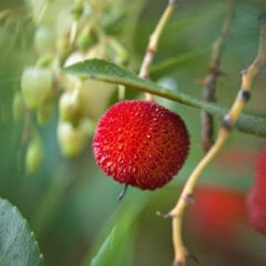 Erdbeerbaum Früchte