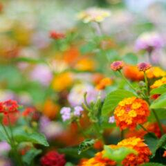 Wandelröschen auf dem Balkon und im Garten anpflanzen und pflegen