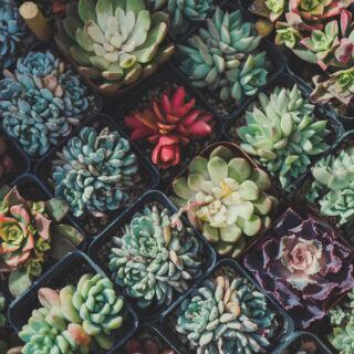 Sukkulenten: Eine Echeverie, die ihre Blätter rot färben kann